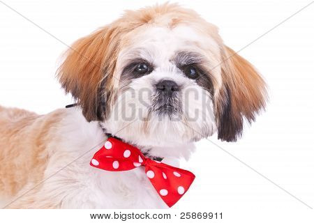 Head Of A Cute Shih Tzu Puppy