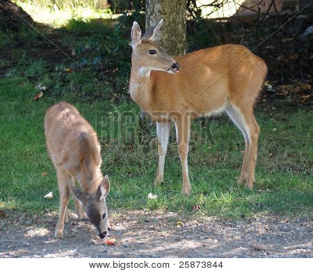 doe and her fawn