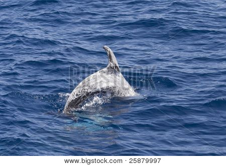 A diving Risso's or Grey Dolphin, Grampus griseus