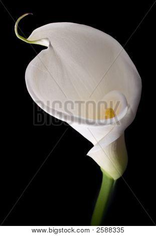 Elegant White Calla
