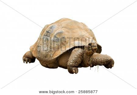 An Aldabra Giant Tortoise (Geochelone gigantea) chewing grass isolated on white