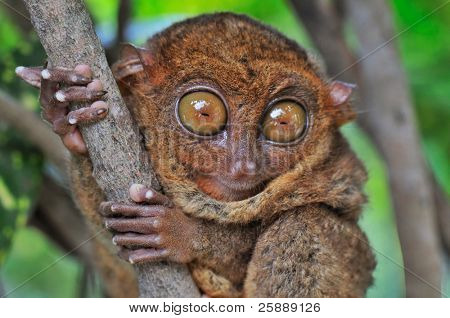 Big-eyed Tarsier looking Surprised
