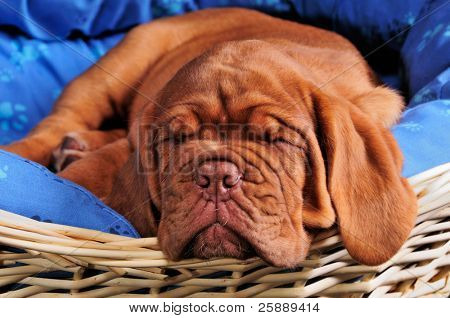 Lovely Two Months Old Dogue De Bordeaux (French Mastiff) Puppy Sleeping Sweetly in Her Comfortable Baby Bed