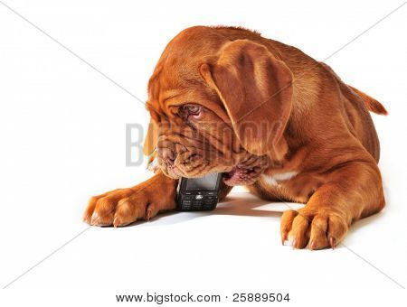 Dogue De Bordeaux Puppy Playing with Cell/ Mobile  Phone, Isolated