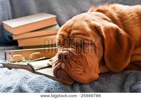 Dog Fell Asleep in Pile of Books