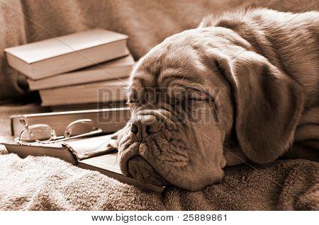 Smart Dog Sleeping in Books in Sepia Tone