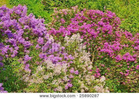 Bush fragante Lila en un jardín de primavera