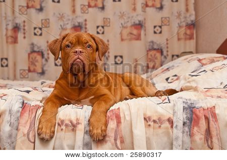 puppy of dogue de bordeaux lying on a bed
