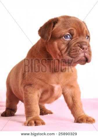 Charming Dogue De Bordeaux puppy is standing