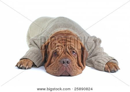 Big Mastiff Dog is Lying in Warm Sweater
