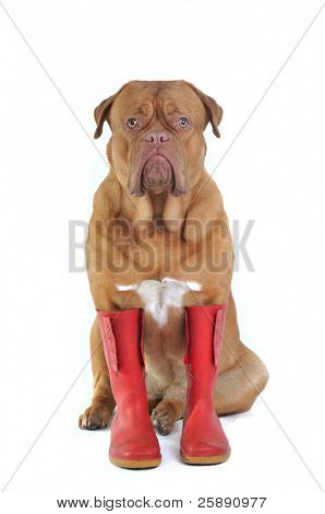 Big Dog Wearing Big Red Rubber Boots