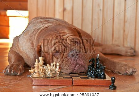 Dog is Tired of playing Chess