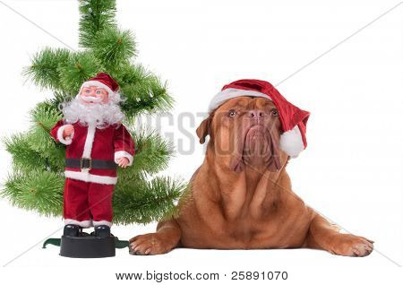 Dog with Santa's cap lying next to a Christmas tree and Santa toy
