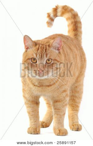 Yellow cat standing and staring into the camera