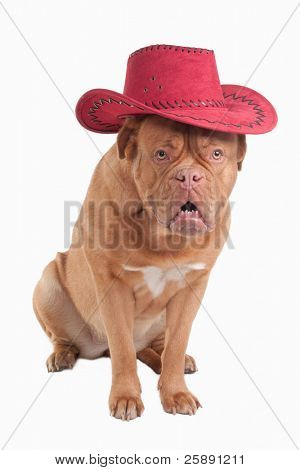 Funny dogue de bordeau with red cowboy hat