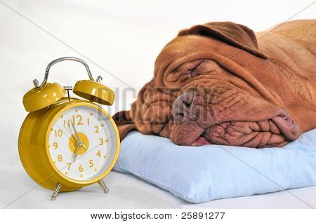Big Dog Sleeping Sweetly with Golden Alarm-Clock