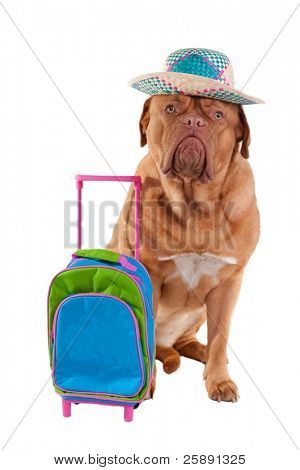 Cute dogue de bordeaux is ready to go on summer holiday