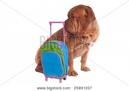 Big dogue de bordeaux is ready to go on a trip