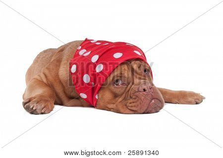 Dogue de bordeaux with fancy red scard with white dots, looking aside
