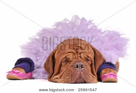 Sleeping wrinkled dog dressed as a ballerina, isolated on white background
