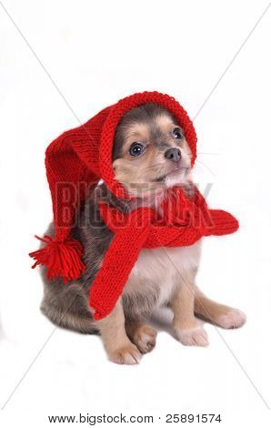 Cute Small Puppy Dressed in Funny Gnome Hat and Scarf