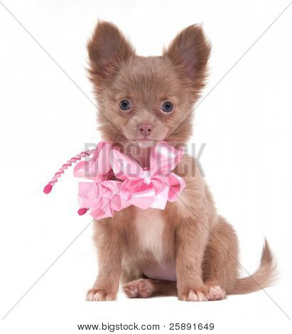 Portrait of a sitting Chihuahua puppy with pink ribbons on its neck