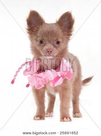 Retrato de um cachorro Chihuahua com fitas cor de rosa em seu pescoço em pé