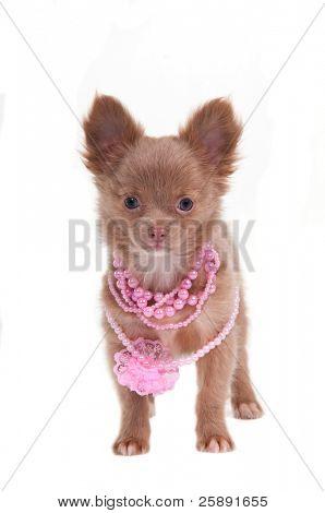 Chihhuahua cachorro com colar de rosa