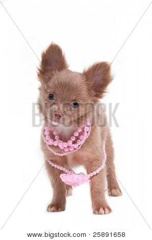 Chihuahua puppy with pink beads standing, isolated