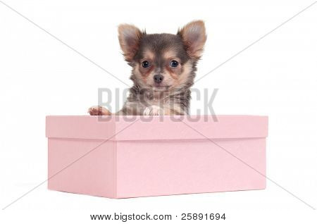 Cute chihuahua puppy peeking from a pink box