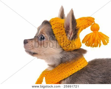 Portrait of chihuahua puppy dressed with funny hat and scarf