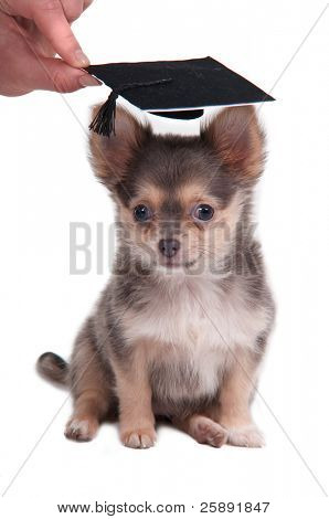 Chihuahua puppy wearing a mortar board hat for graduation isolated on white background