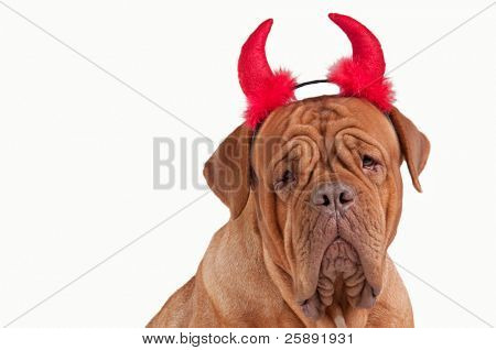 Close up of a dogue de bordeaux with red horns dressed for party isolated on white background