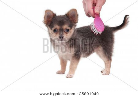 Tiny Chihuahua puppy is combed with a pink brush isolated on white background