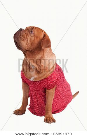 Dogue de bordeaux dressed with red romantic dress of polka-dot design looking up isolated on white background