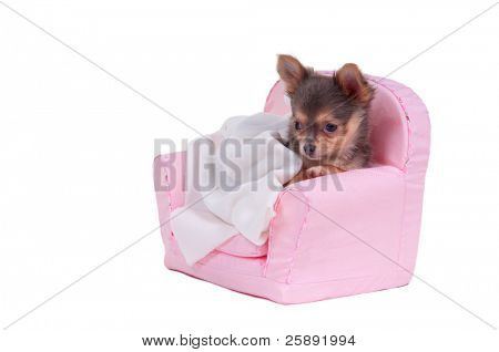 Chihuahua puppy is going to have a sleep in pink armchair