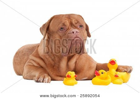 Puppy of Dogue De Bordeaux breed  playing with duck toys