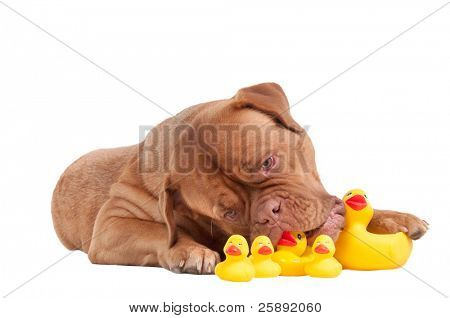 Dogue De Bordeaux puppy playing with duck toys