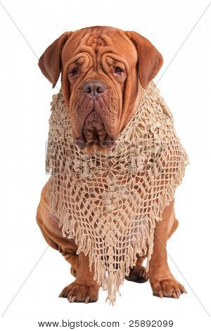 Portrait of a big dogue de bordeaux with a handmade beige shawl isolated on white background