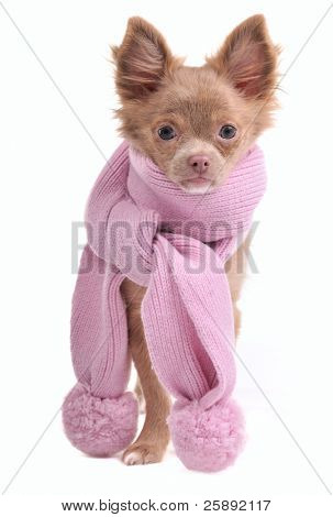 Chihuahua puppy with pink scarf, isolated on white background