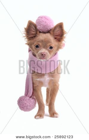 Elegant chihuahua puppy wearing pink scarf and beret