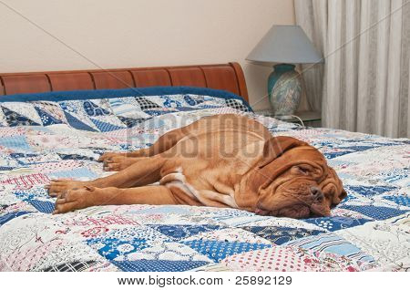 Cute Dogue De Bordeaux puppy lying on the bed with handmade patchwork quilt
