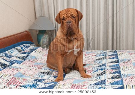 Lovely Dogue De Bordeaux puppy sitting on the bed with handmade patchwork quilt