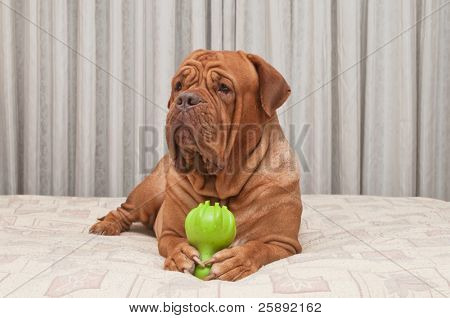 Dog of Dogue De Bordeaux Breed is lying on master's bed holding toy in her paws