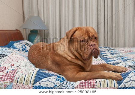 Dogue De Bordeaux puppy laying in master's bed