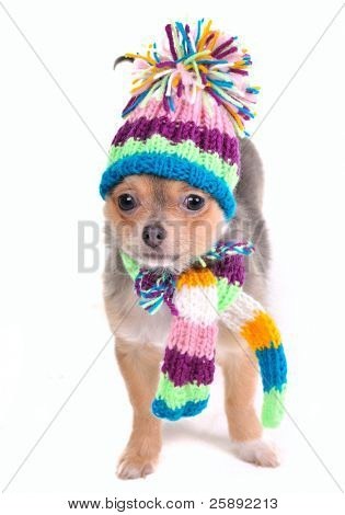 Puppy Dressed For Cold Weather Isolated On White. Chihuahua With Scarf and Hat Looking Aside