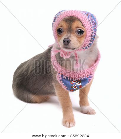 Chihuahua Puppy With Jeans Scarf and Cap Looking At Camera Isolated On White Background