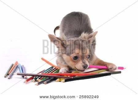 Playful Chihuahua puppy with colorful pencils isolated on white background