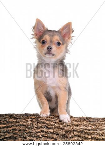 Portrait of chihuahua puppy with paws on trunk with wooden texture isolated on white background