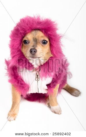 Portrait of a tiny Chihuahua with fluffy pink hood